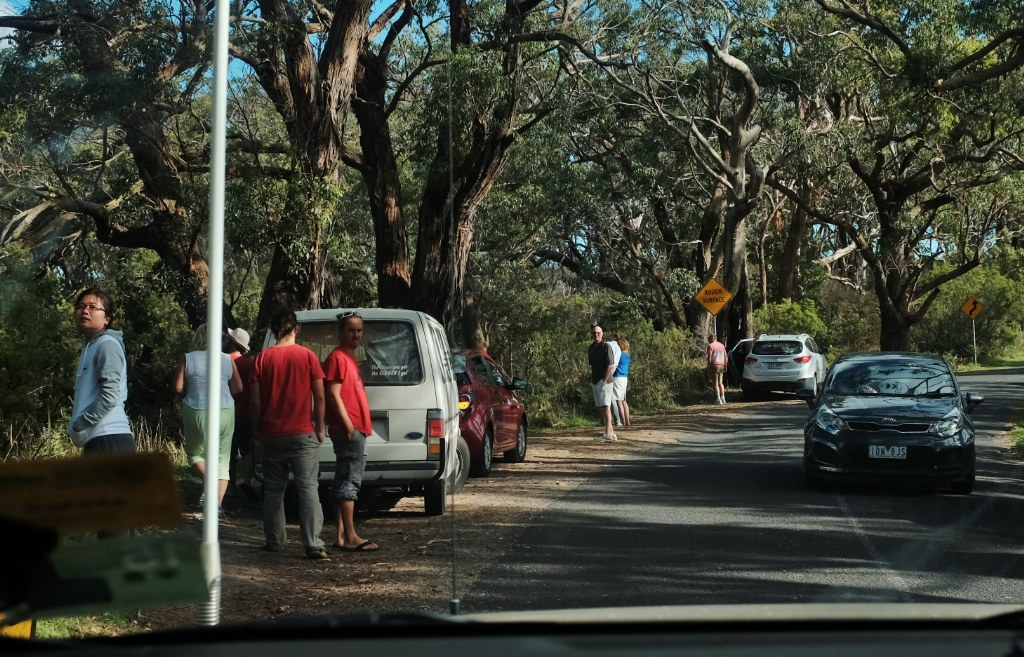 koala tourists (2)_1024x657
